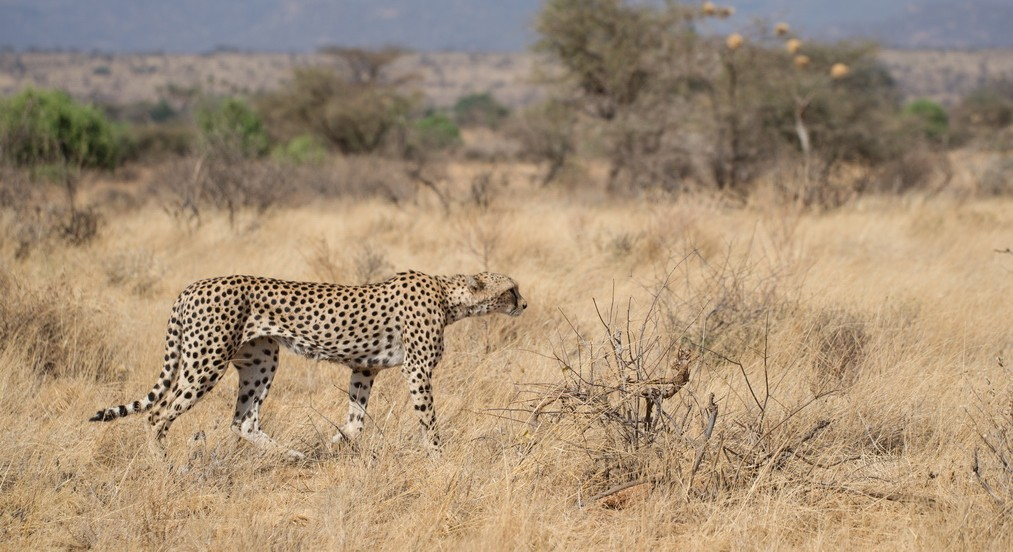 0459 - Kenia - Samburu - Cheetah