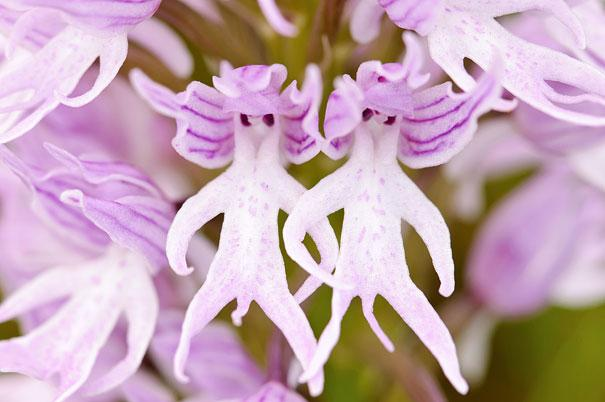 flowers-look-like-animals-people-monkeys-orchids-pareidolia-18